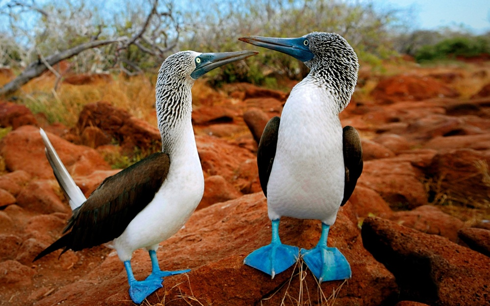 blue-footed-booby-2